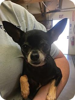 Pictures of Munchie a Chihuahua for adoption in Colorado Springs, CO who needs a loving home.
