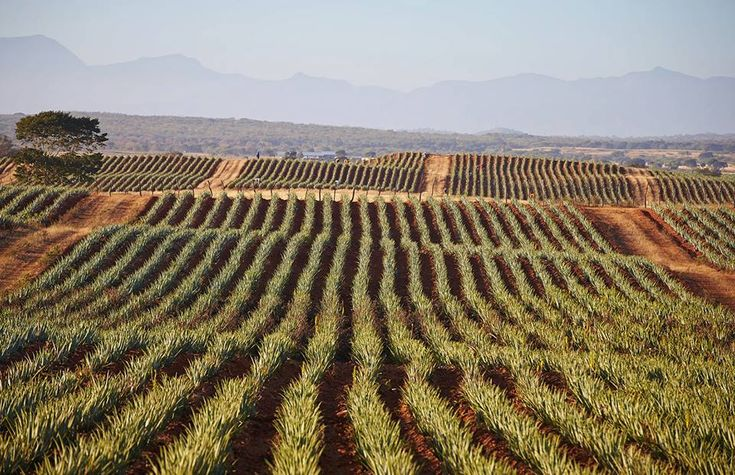 Over 6,500 acres of the highest quality aloe vera is grown on Forever's aloe fields, making up the largest aloe plantation in the world.