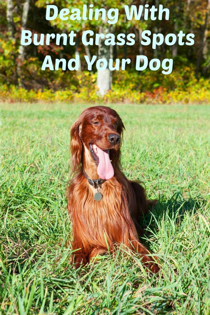 200 best for roguey images on pinterest dog cat dog accessories dealing with burnt grass spots from your dog dog vills solutioingenieria Gallery