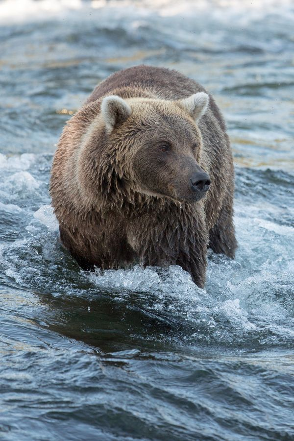 Grizzly bear in a cold river, Katmai National Park
