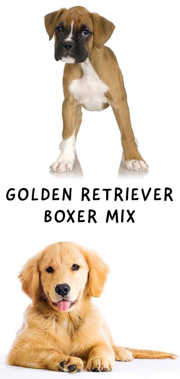 Golden Retriever Boxer Mix A Winning Combination Boxer