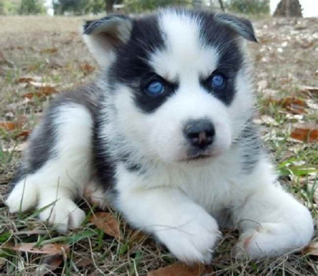 Baby Husky Prices Husky With Blue Eyes Baby Huskies Blue Eyed