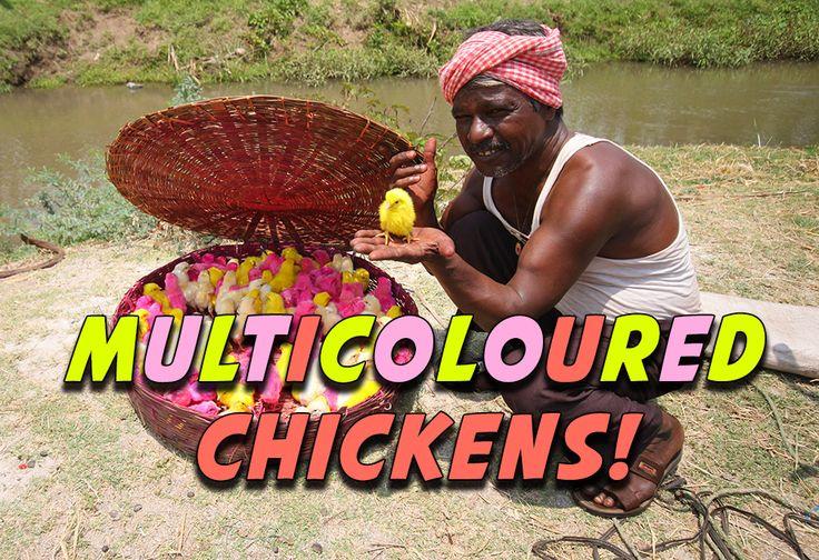 Multicoloured Chickens in India!