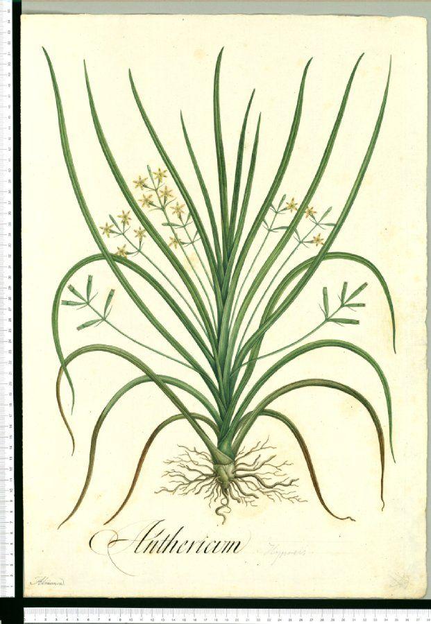 Anthericum Almansa Pedro Advíncula De Almanza Botanical Illustration Vintage Botanical Art Nature Illustration