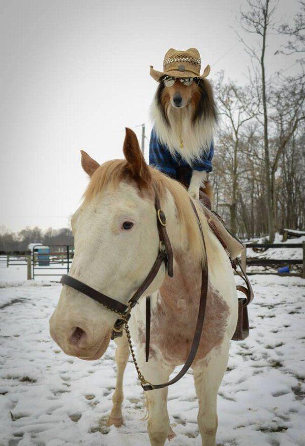 insolite cheval chien cowboy