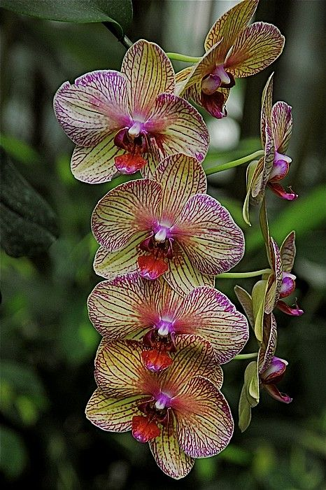 .: Beautiful Flower, Exotic Flower, Orchids Gardens, Gorgeous Flower, Beautiful Orchids, Flower Plants, Orchids Flower Gardens Love, Flower, Full Bloom