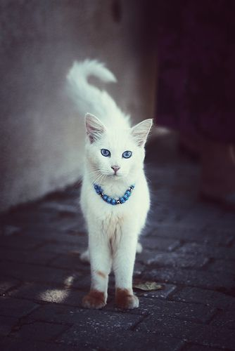 meowThe Roads, Beautiful Cat, The Aristocats, Pretty Cat, Blue Eye, Brown Boots, Animal, Baby Cat, White Cat