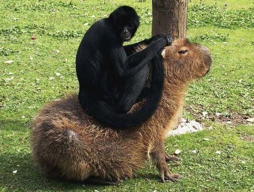 他の動物と仲良しのカピバラ14