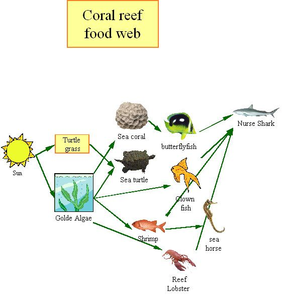 coral reef food chain ...