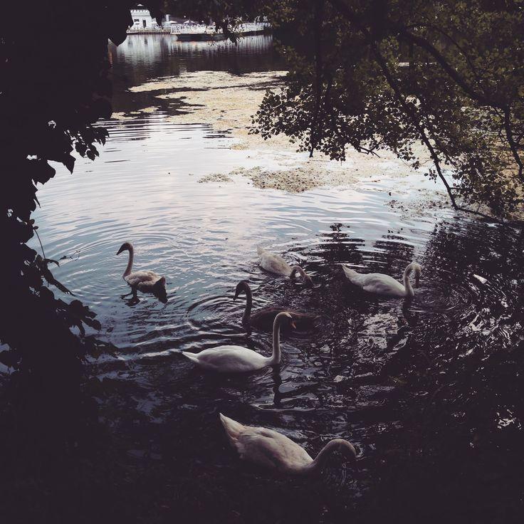 Swans in Berlin