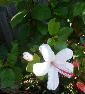 The hibiscus: my favorite flower.