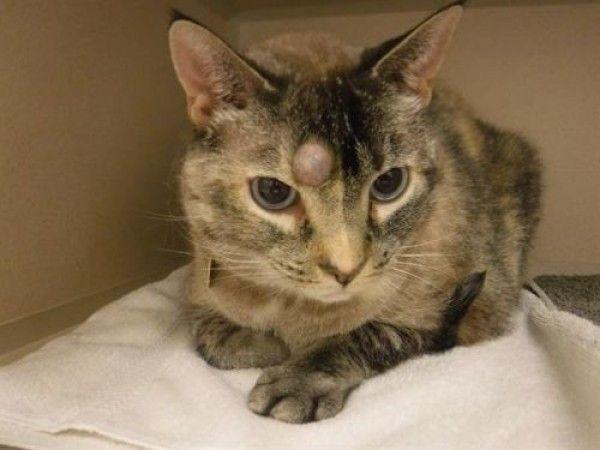 Siamese Cat For Adoption In Denver Colorado Bella In Denver Colorado Cats And Kitties For Adoption Siamese Cats Cats Adoption