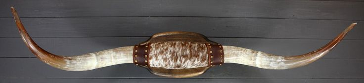 A great pair of curvy Longhorns with brown tips. They measure 44 inches  from tip to tip with each horn measuring 20 inches from tip to base. The  center leather is brown and white hair on cowhide and the outsides are  brown with nailhead trim. The mounting plaque is maple with walnut stain.