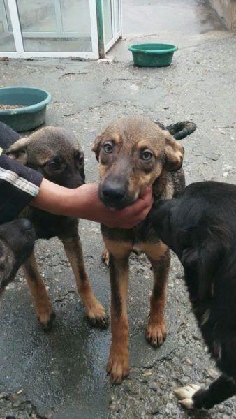 Dies hier ist ein Versuch zur Vermittlung von Hunden, die Sie auf den Fotos sehen. Diese Hunde kommen aus den Tötungen in Rumänien und befinden sich derzeit in ganz primitiven Auffangslagern. Die Hunde sind geimpft, gechipt und haben einen EU-Pass. Wenn es sich um Welpen handelt, sind diese noch nicht kastriert, alle anderen schon. Nach einer positiven Vorkontrolle bei Ihnen, kann der Hund ausreisen und nach Deutschland gebracht werden. Es muss eine Schutzgebühr bezahlt werden, diese…