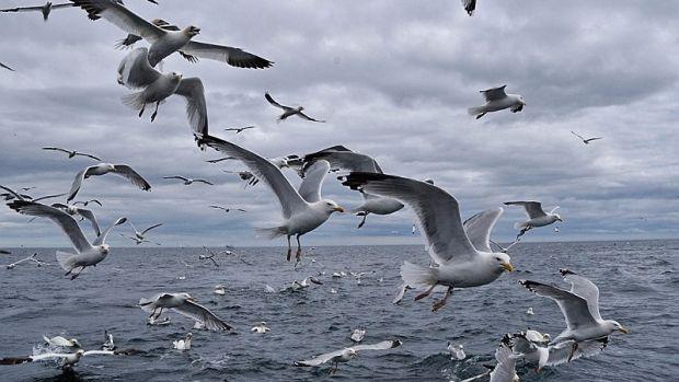 Risultati immagini per immagini di gabbiani in volo