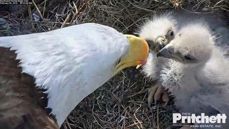 Orlí hnízdo – webkamera