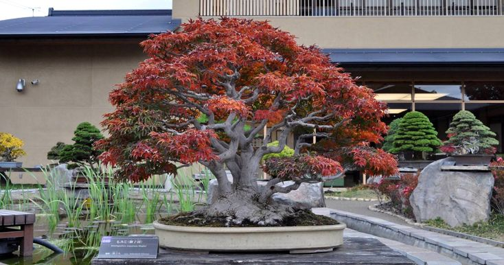 Absolutely gorgeous Bonsai tree, a Shishigashira (Japanese Maple) photographed in November, photo by the Omiya Bonsai Art Museum. #bonsai #bonsaitree nature #homedecoration #plants #plantlove #plantlover #greenery #indoorplants #houseplants #succulent #terrarium #modernhome #homedecor #greenery #nature #tree #garden