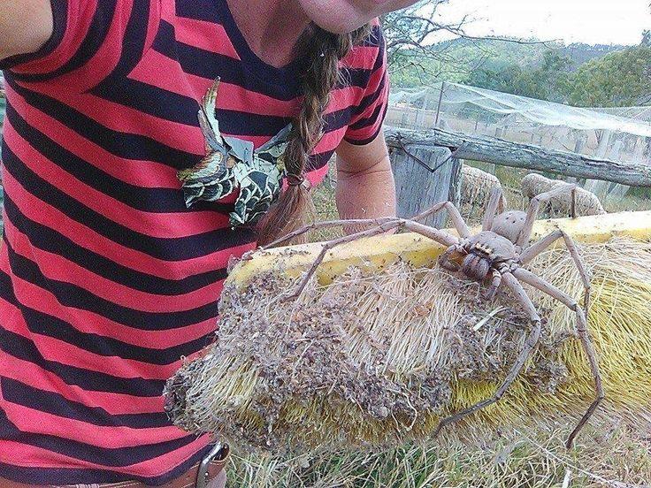 Possibly the biggest huntsman spider ever photographed in Australia - Album on Imgur