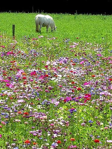 Créer une #prairie #fleurie dans son jardin : guide pratique : Alternative écologique au gazon, la prairie fleurie est tendance. Facile à créer et à entretenir, elle permet de favoriser la biodiversité dans son jardin. Pour attirer les papillons, abeilles et oiseaux chez vous, semez une prairie fleurie ! Voici comment faire.