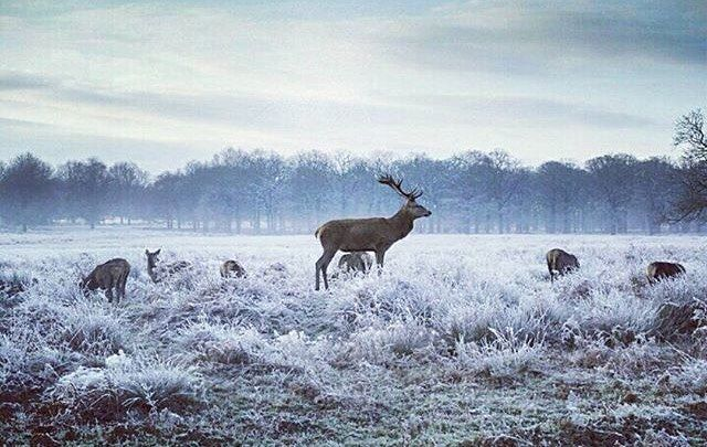It's not Santas reindeer getting ready at the North Pole. This is a cold Phoenix Park in Dublin photographed by @sharon_m_debrun