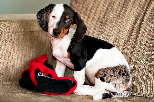 Beautiful dachshund with unusual markings. | Hunde mantel ...