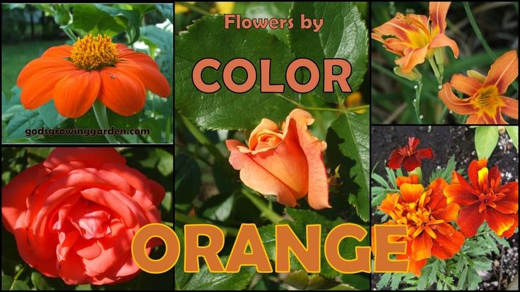 Featuring #orange colored #flowers grown in my #garden by: http://www.godsgrowinggarden.com/2017/06/flowers-by-color-orange.html