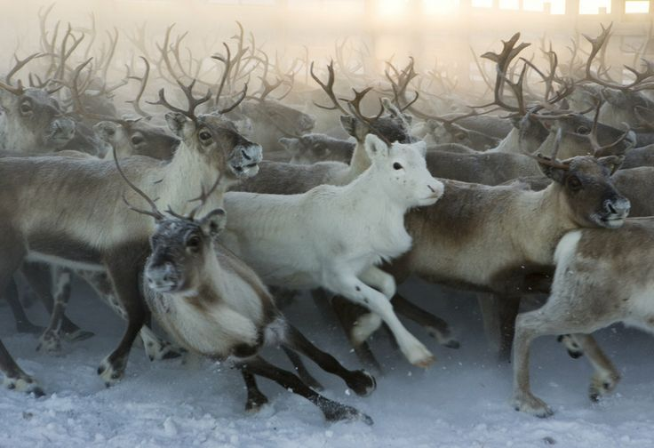 Northern Norway images -- Only the Native Saami's are allowed to raise & live with Reindeer. It's their Life --