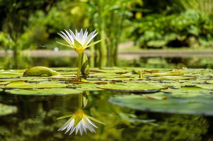 수련, 꽃, 연못, 연못 플랜트, 수생 식물, 물, 미러링, 식물원, 프라이부르크