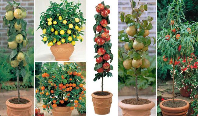 15 Dicas Para Cultivar Árvores Frutíferas em Vasos de Uma Maneira Fácil Sem Ter um Jardim