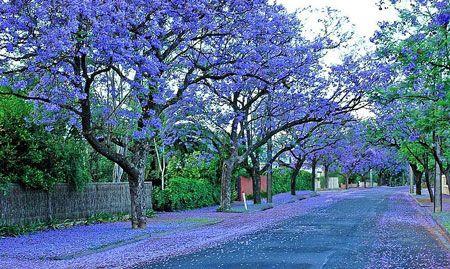 Jacaranda's in full blossom on one of Adelaide's older streets.