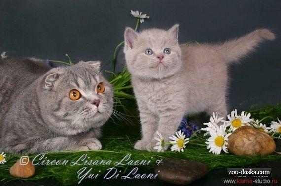 Шотландские вислоухие и британские котята, Москва