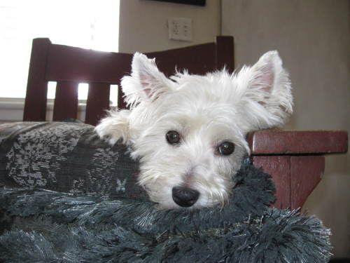 West Highland White Terrier Dog Rescue