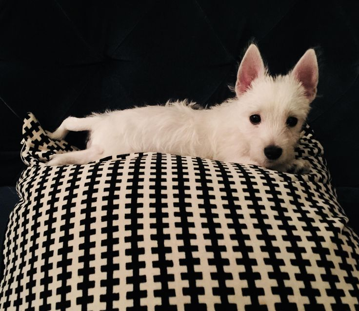 My west highland terrier puppy posing for a photo. http://ift.tt/2AMA3L6