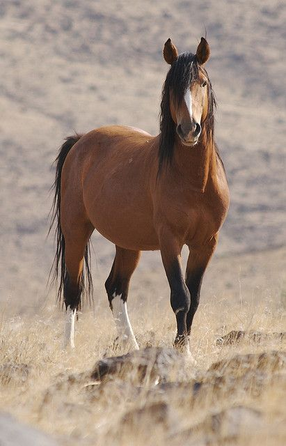 ☀Wild horse ~ love this pic. I don't know why but this reminds me of my dads old horse that we used to have, but this horse looks nothing like ours except for the mane and tail.