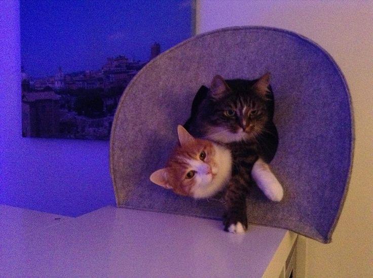 Luis und Barlo Katze | Pawshake Zorneding