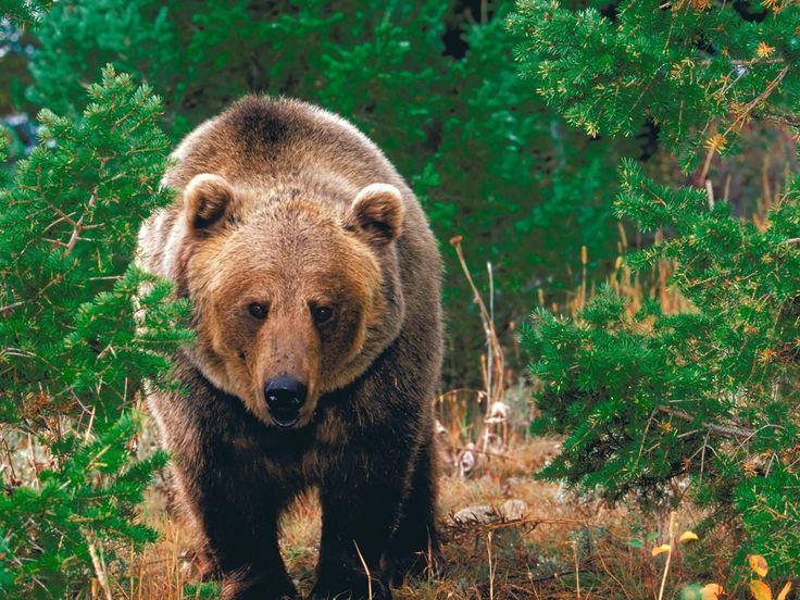 California Cool: California grizzly bear (Ursus californicus) = California State animal.
