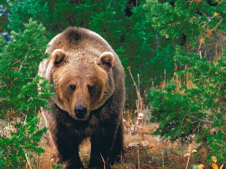 California Cool: California grizzly bear (Ursus californicus) = California State animal.