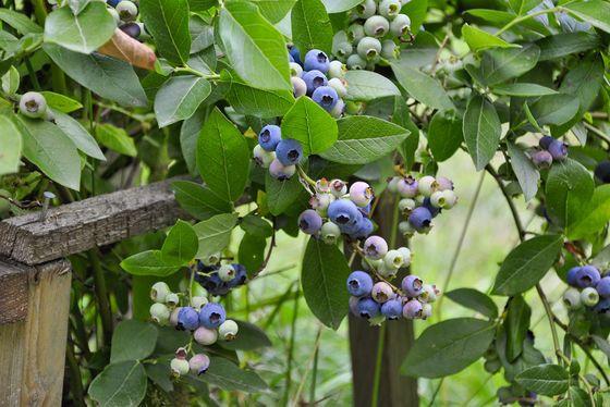 Borówka wysoka może być uprawiana praktycznie bez środków ochrony roślin