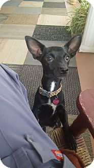 Glastonbury, CT - Chihuahua Mix. Meet Trixie, a dog for adoption. http://www.adoptapet.com/pet/17018384-glastonbury-connecticut-chihuahua-mix