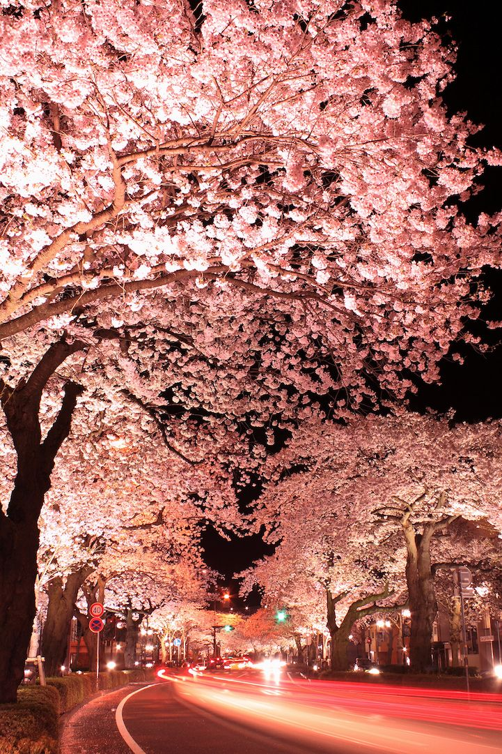Long exposure photos of Japanese cherry blossoms at night.