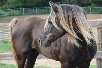 The coloring is like my buddy horse Dance. Love the Rocky Mountain Horse build and overall look. :)