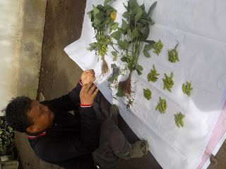 satu tanaman varietas 09 jumlah polongnya 80 buah. superrr