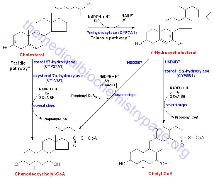 Synthesis of the bile acids, cholic acid and chenodeoxycholic acid