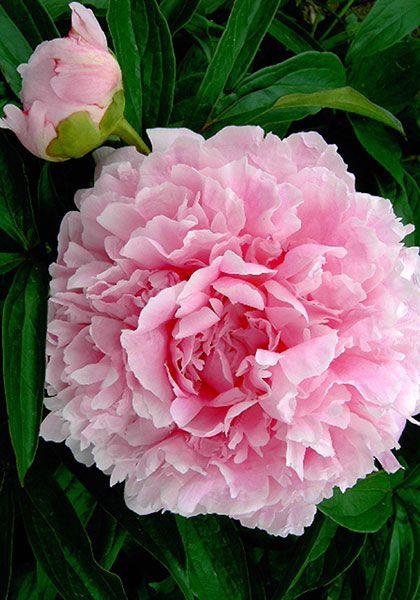 Esta flor es una peonía  de color rosa, y a la izquierda de ella hay un capullo de peonía.