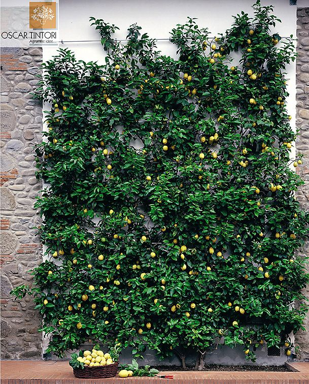 Espalier Lemon. Doesn't need to be in a super formal shape; just prune the parts that grow into your walking area... although you may not want to grow it this high since an orchard ladder will be hard to get up into the horseshoe pit.