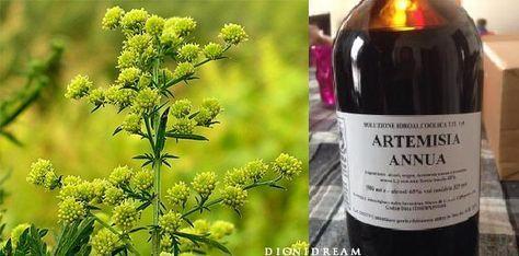 Artemisia contro il cancro ...Questa pianta sta dando speranza a tantissime persone perché numerosi studi scientifici dimostrano la sua efficacia nel distruggere completamente le cellule
