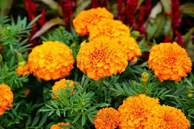 Hasil gambar untuk bunga telekan