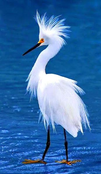Snowy Egret.