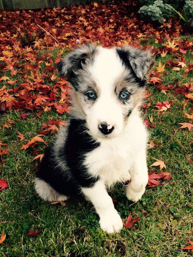 Blue Merle Border Collie Puppy called Murphy Collie