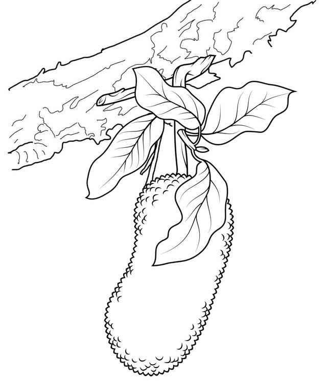 Read Morebest Jackfruit Coloring Page For Kids Coloring Pages